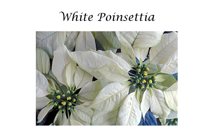 White Poinsettia card set